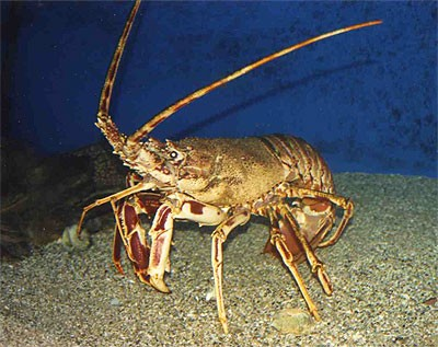 Lobster season opens at 12 01 am for Lobster fishing california