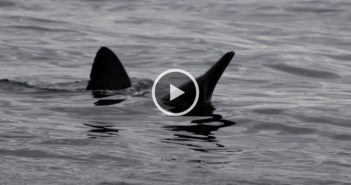Video: Local 1/2 day boat encounters large shark eating a dolphin
