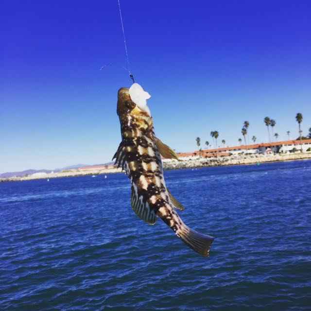 Sunday 1 29 report oceanside pier and north jetty san for Oceanside fish report
