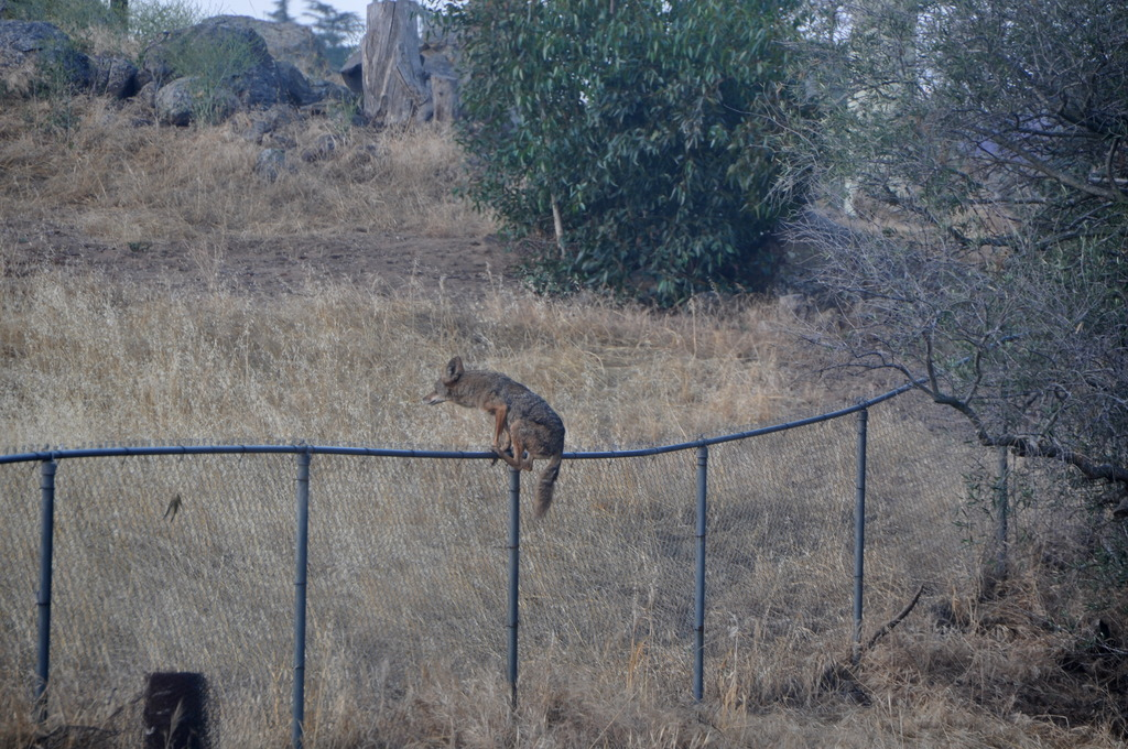 Crazy Video Of Bobcat And Coyote In Texas San Diego
