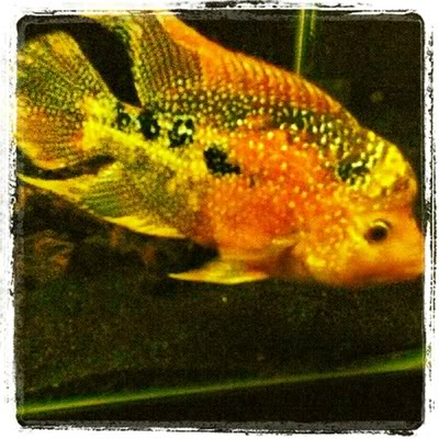 Flowerhorn cichlid for sale san diego fishing forums for Flowerhorn fish for sale