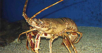 california-spiny-lobster
