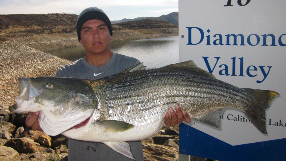 Massive striper caught at diamond valley for Diamond valley lake fishing report
