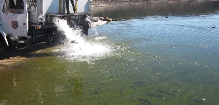 Trout being stocked at Diamond Valley