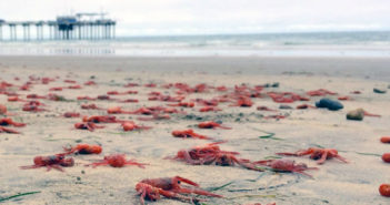 Pelagic red crabs washed up on the beach north of Scripps Pier