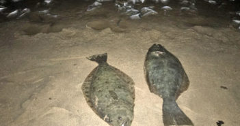 A pair of nice halibut caught from the surf during a grunion run