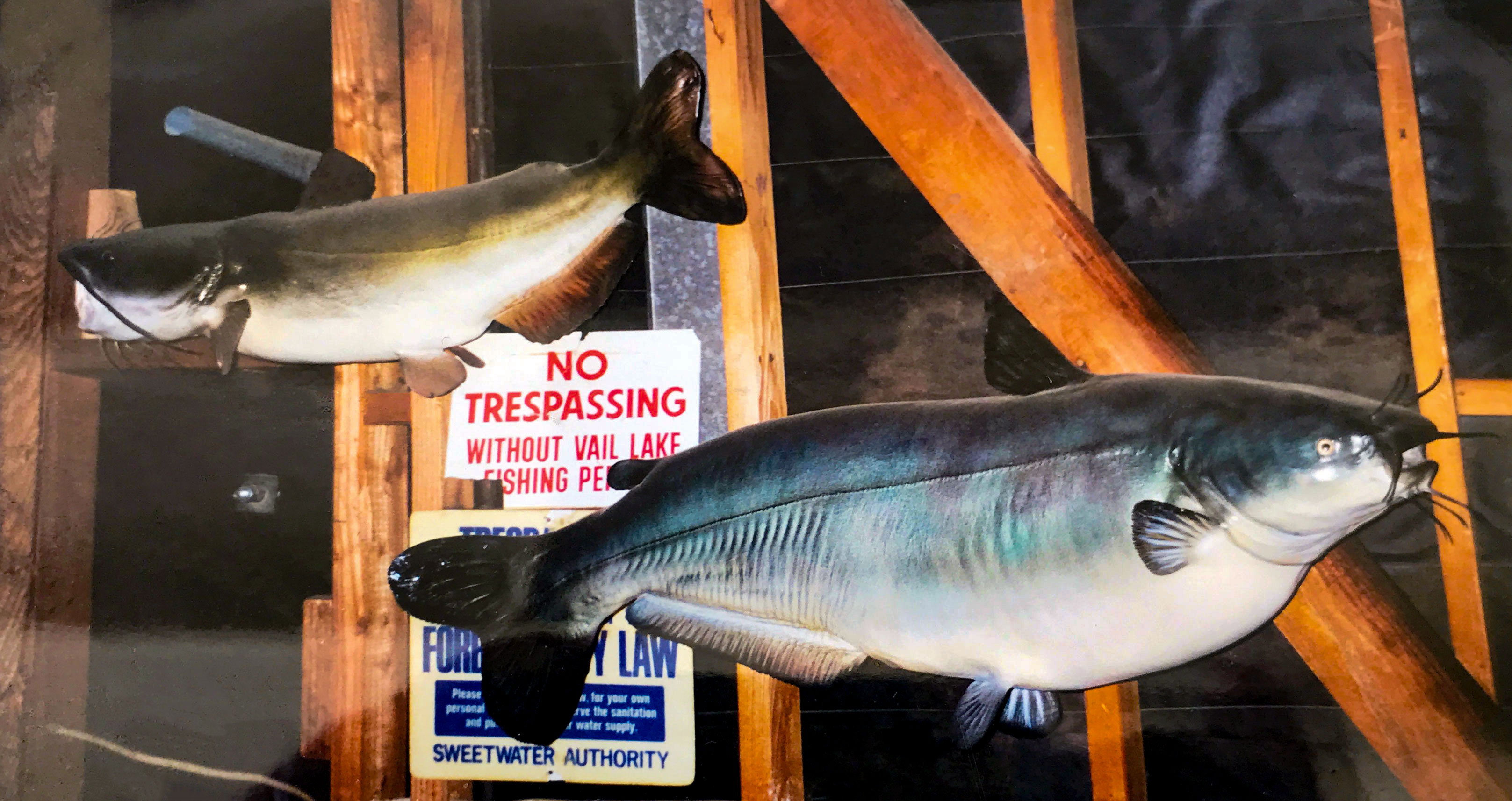 Mounts of Long's blue catfish from Vail Lake and channel catfish from Loveland